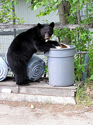 bear-in-trash