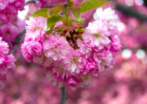 new-york-city-photo-cherry-blossom-brooklyn-cc